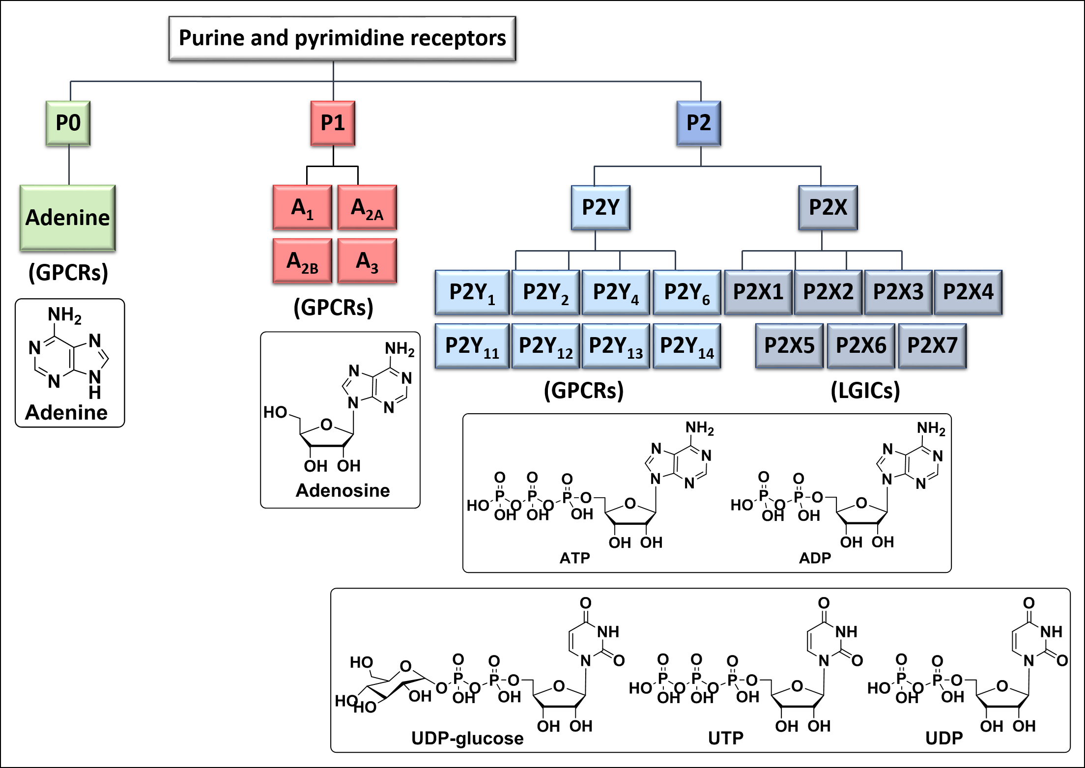 purine and pyrimidine receptors-5.png